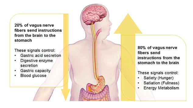 How the Vagus Nerve Influences the Gut Brain Connection