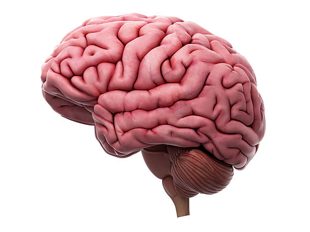 model brain.
