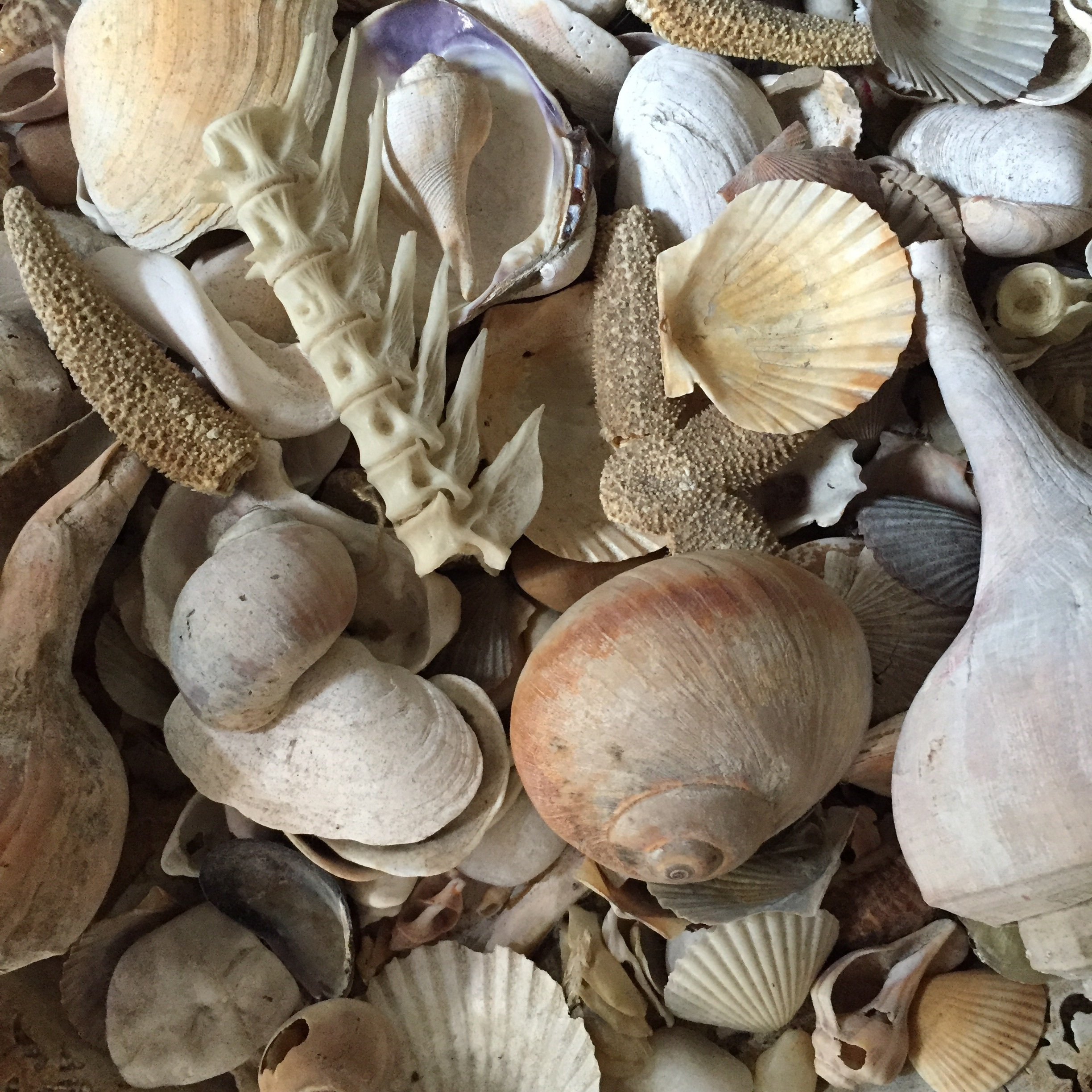 A collection of seashells and bones from her beach...