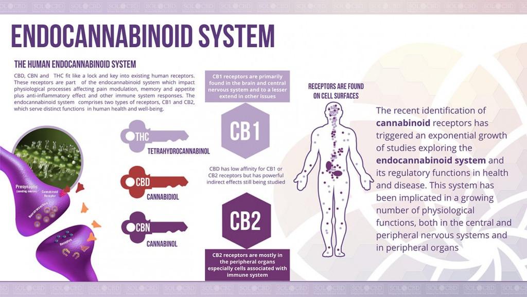 endocannabinoid-system-1030x580_1_1024x1024.jpg