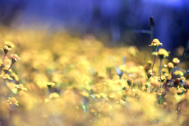 20110523-Yellow Field.jpg