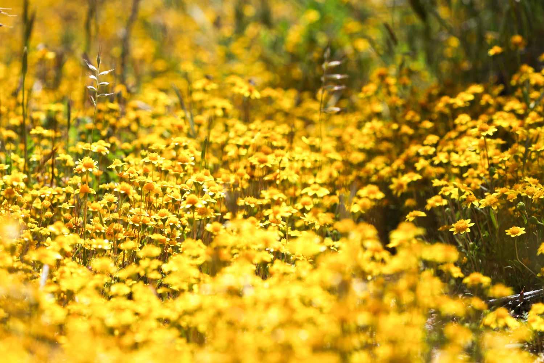 20120917-Yellow Flower Carpet A.jpg