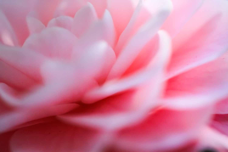 20120920-Pink Flower A.jpg