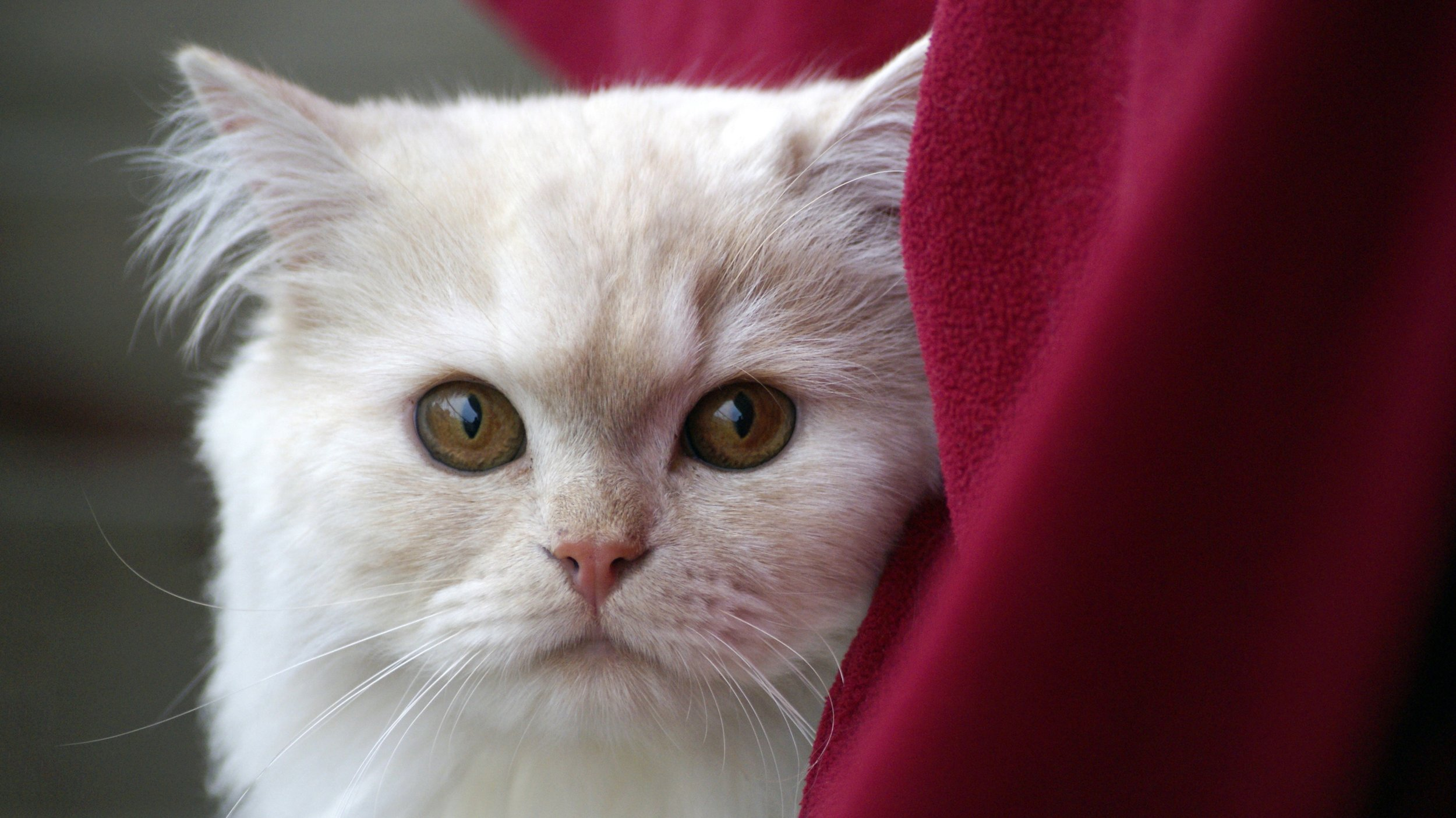 white cat-2598051.jpg