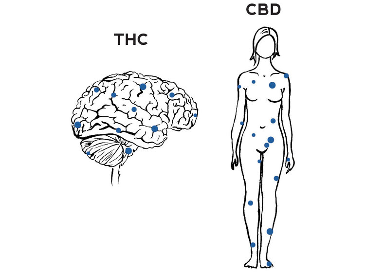 THC binds to receptors in the brain while CBD only binds to receptors throughout the body. (credit:  kristenwilliamsdesigns.com