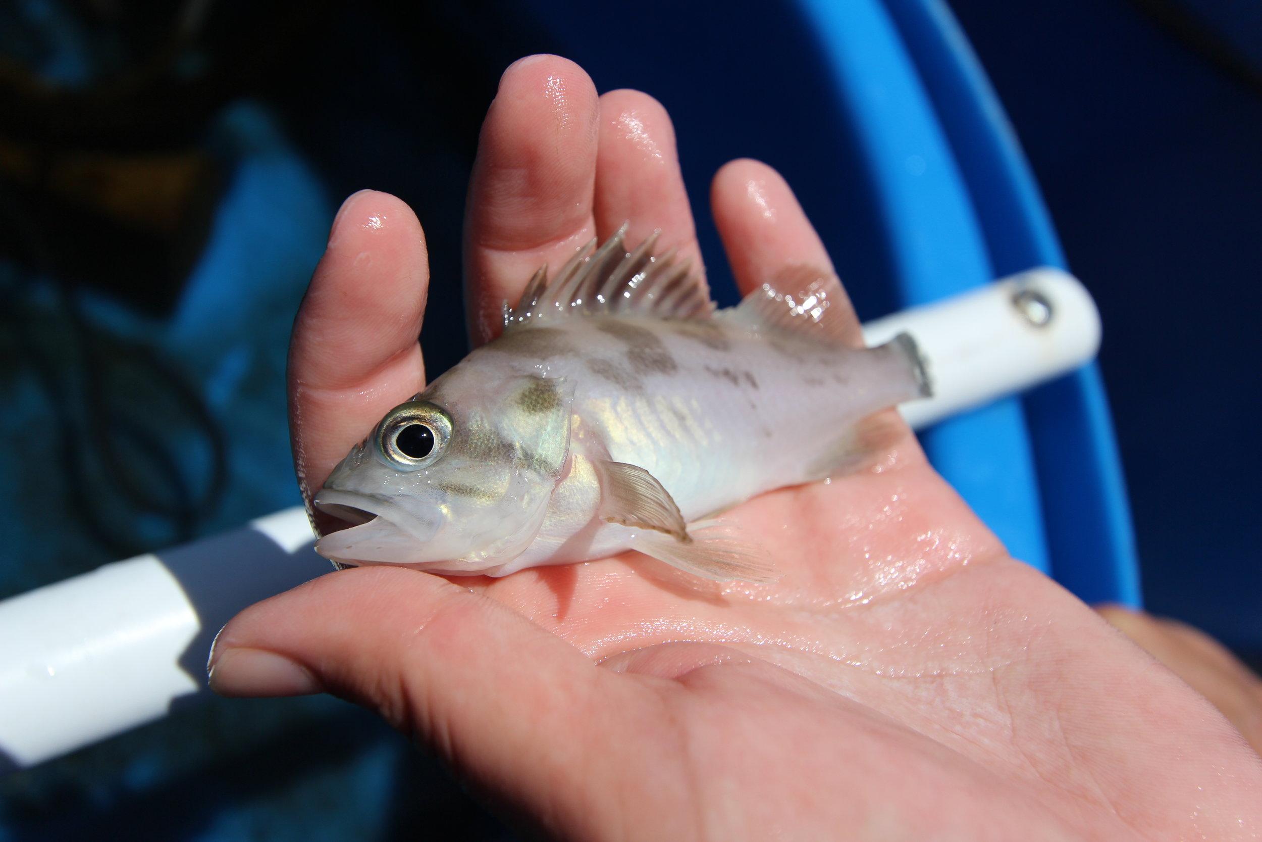 Juvenile copper rockfish