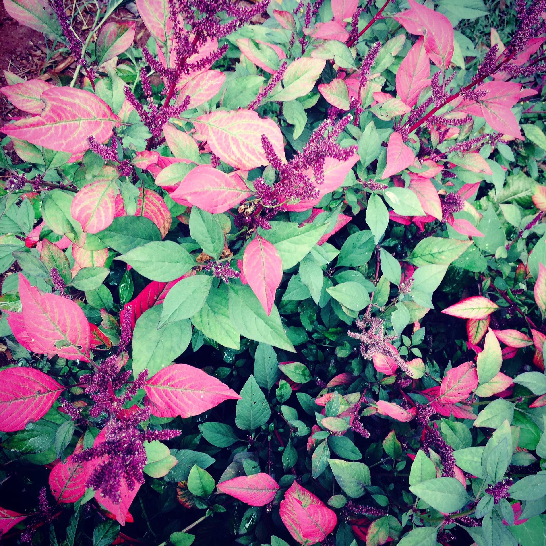 Above: Indigenous 'purple' amaranth