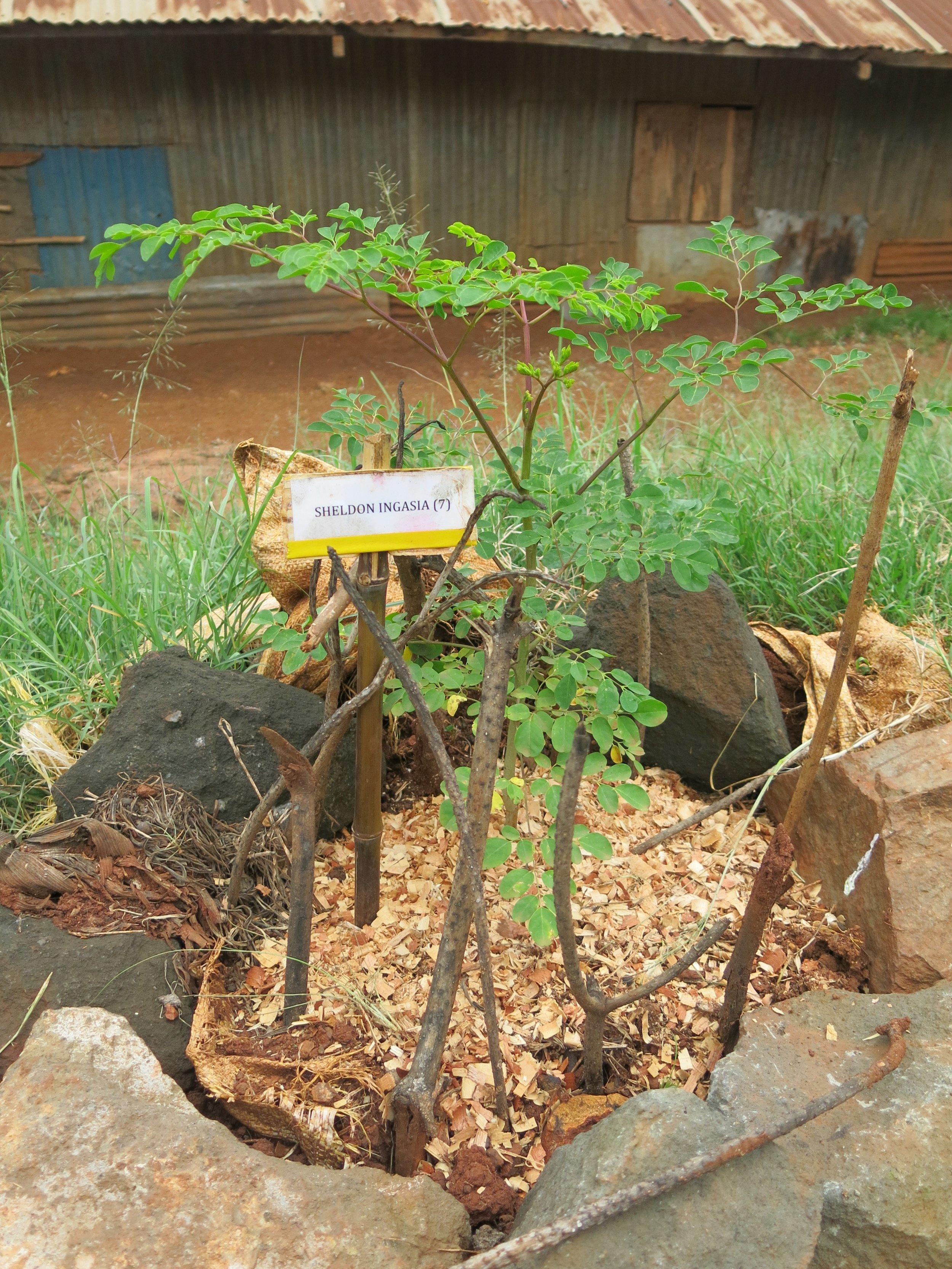 Above: Moringa tree with student name