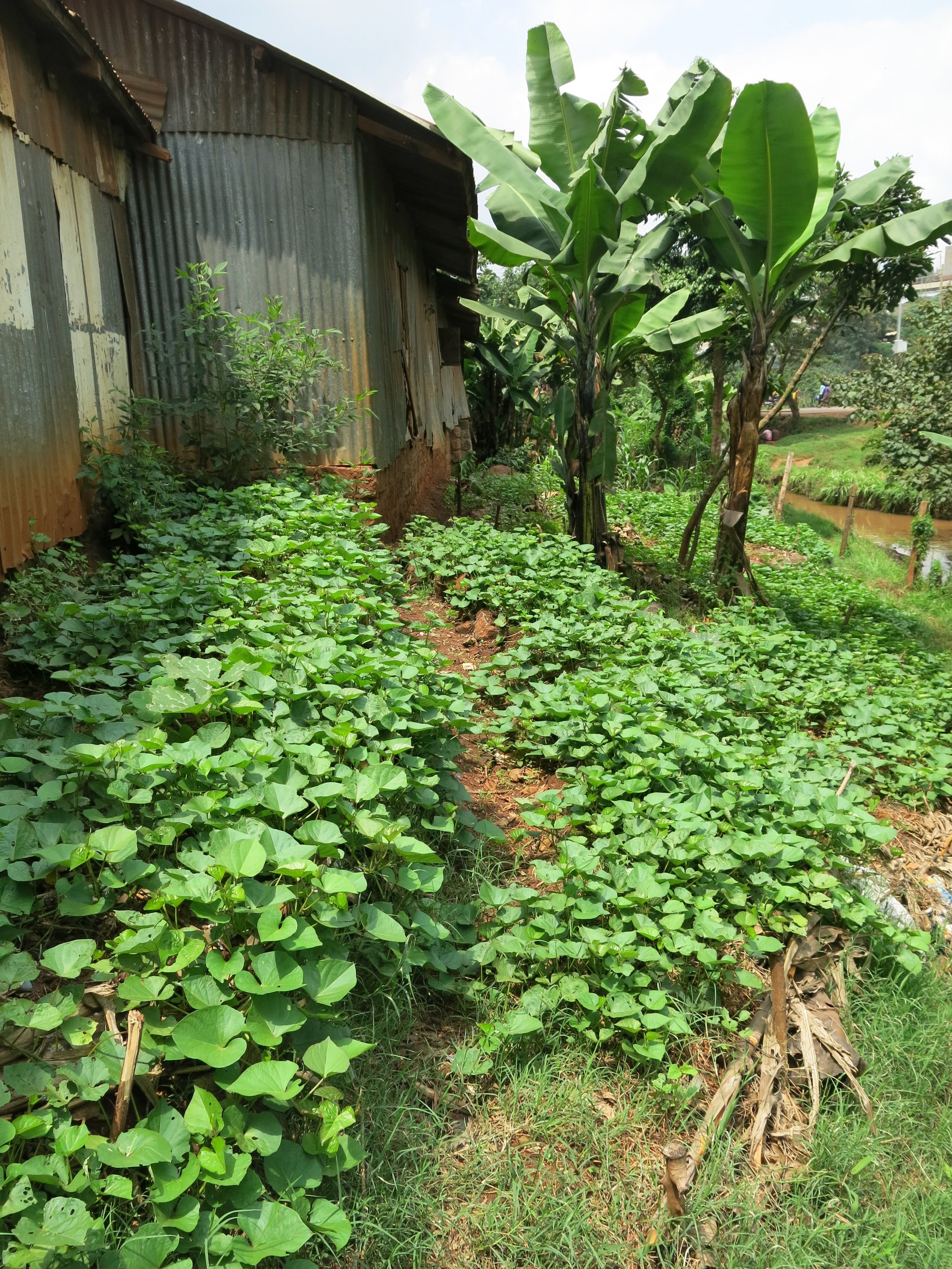 Above: Mass sweet potato production - we harvested 50 kg's of the buggers