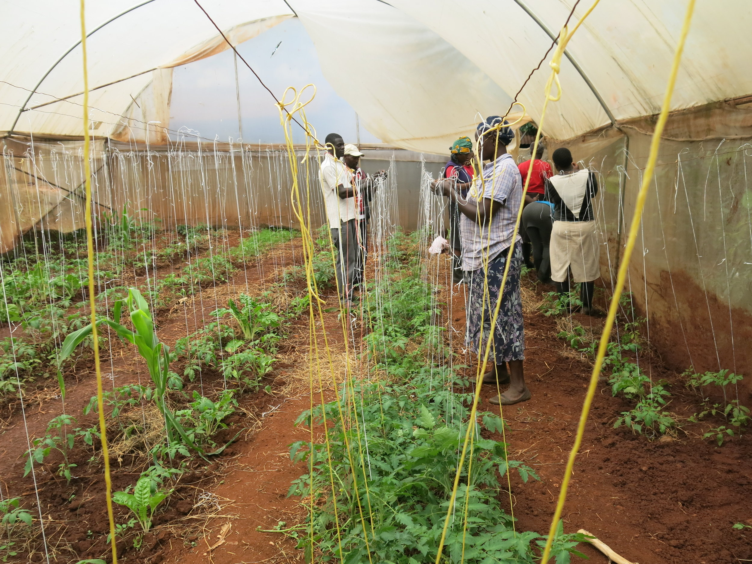 Above: Tomatoes in the greenhouse being tied up with leftover scraps from a hessian factory located close by