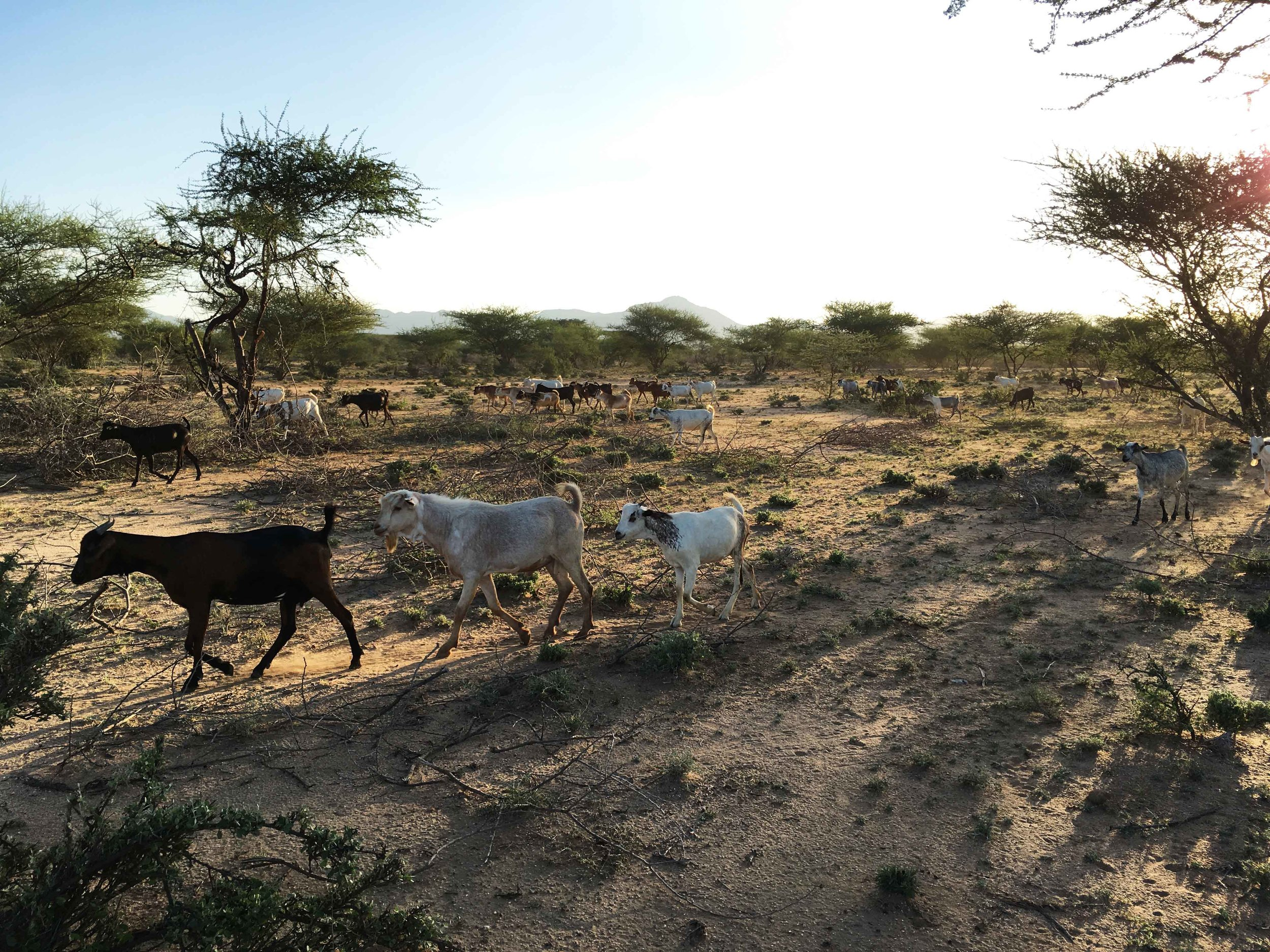 Goat grazing and dersertification