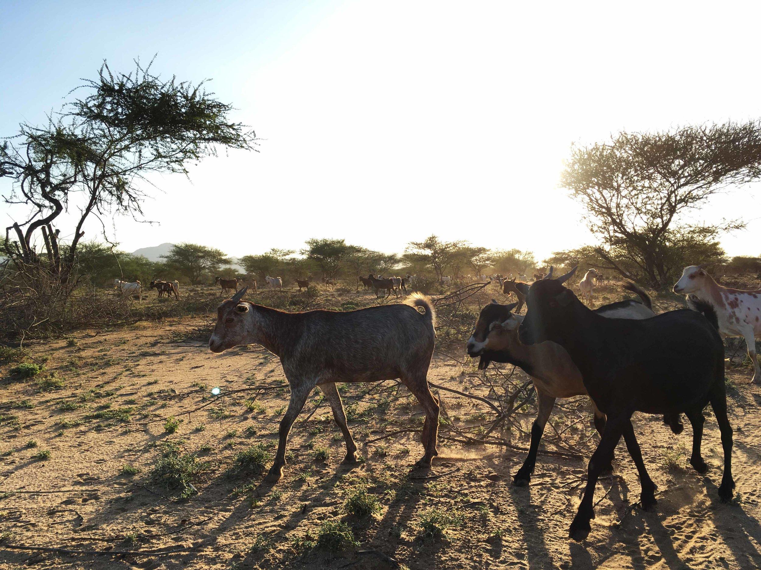 Goats backlit 2.jpg