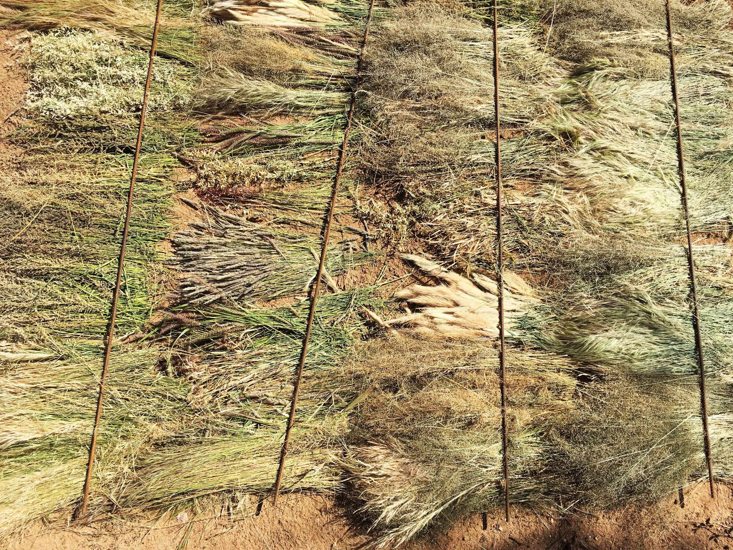 Grass Drying   Nakukulas, Turkana