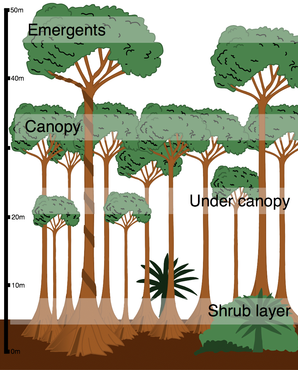 Layers in a tropical rain forest   credit:  Internet Geography