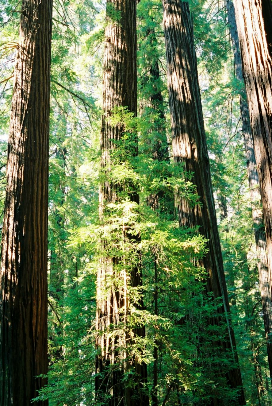 California_Redwood_Trees.jpeg
