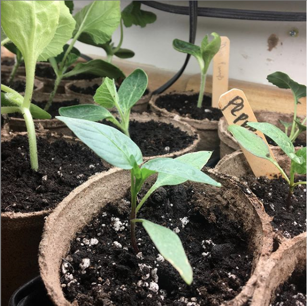 Jen Thompson, VT - I have been raising little plant babies for several weeks now. I'm cautiously optimistic that this, my third attempt at being a gardener, may actually yield something! 🌱