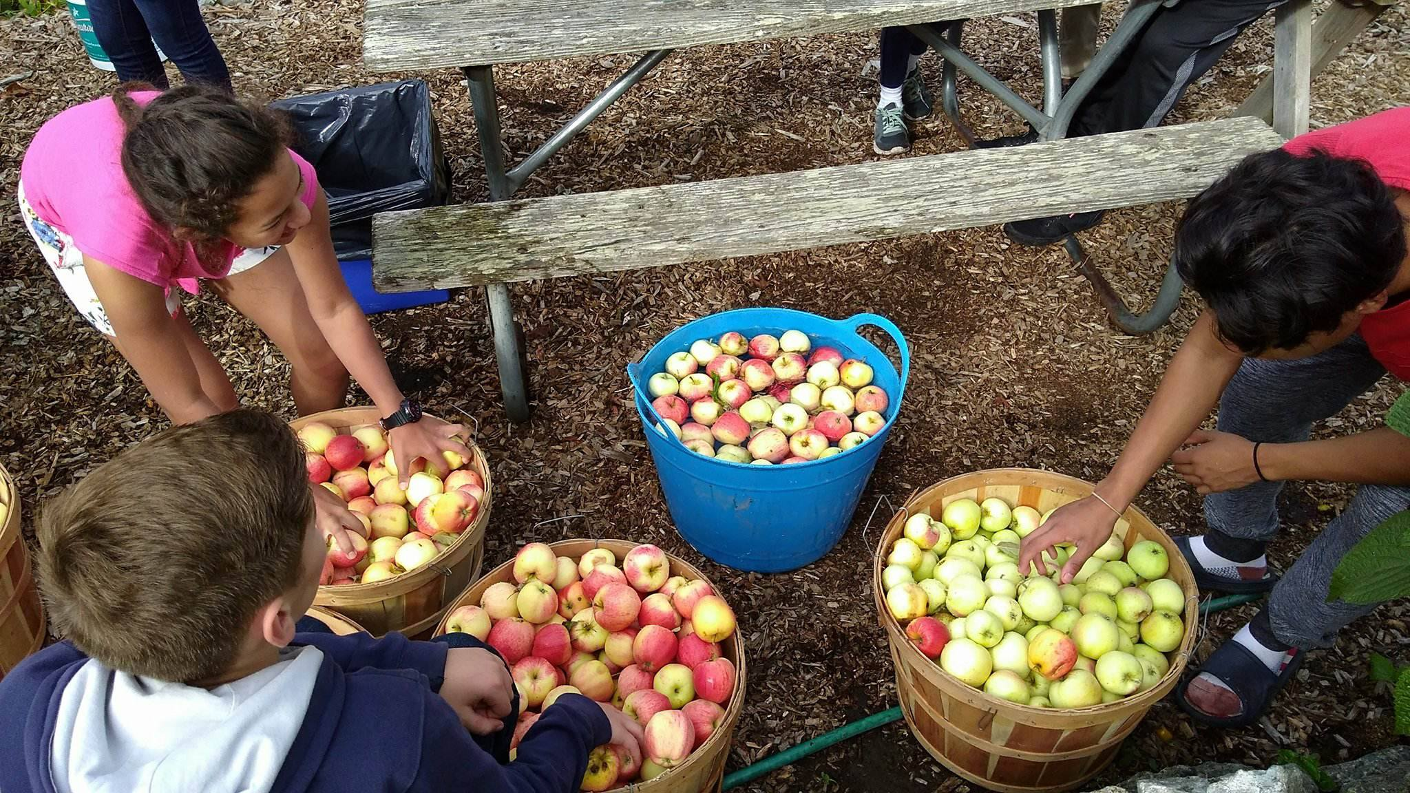 Local apple harvest