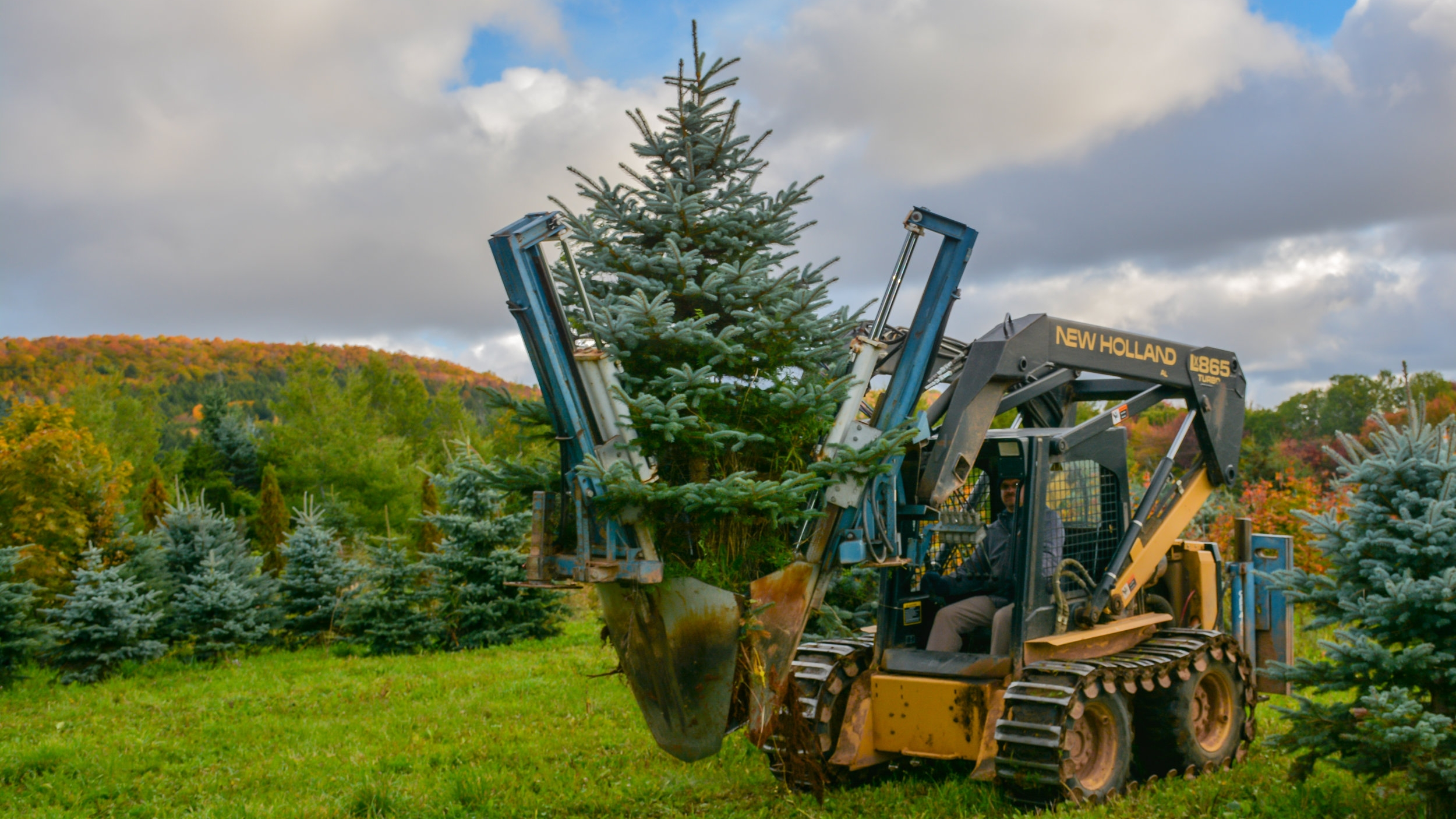 Dig Colorado Blue Spruce G.JPG
