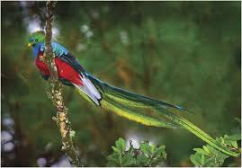 Rare quetzal bird