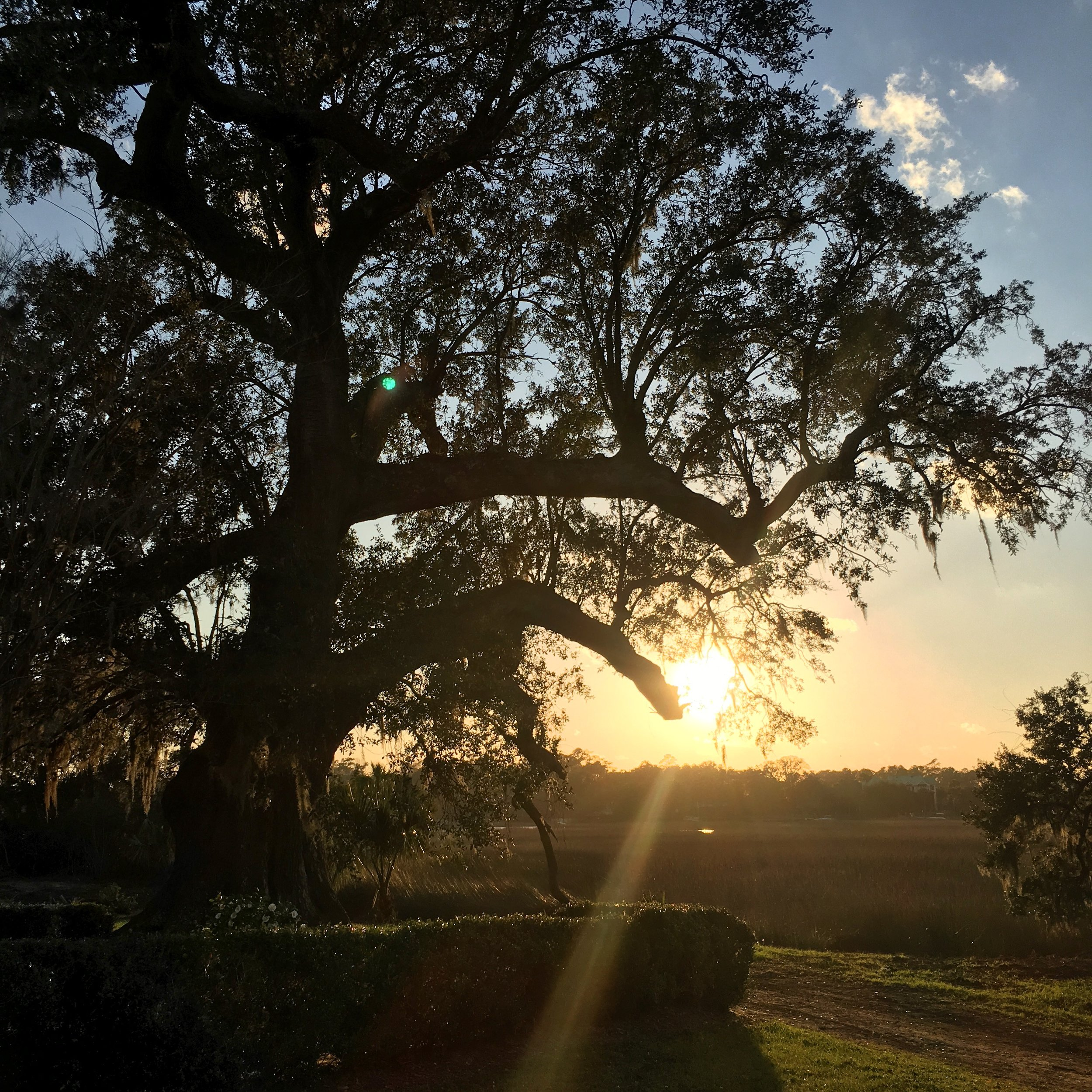 I captured a picture of the sunset and this tree, which is between 400-500 years old!