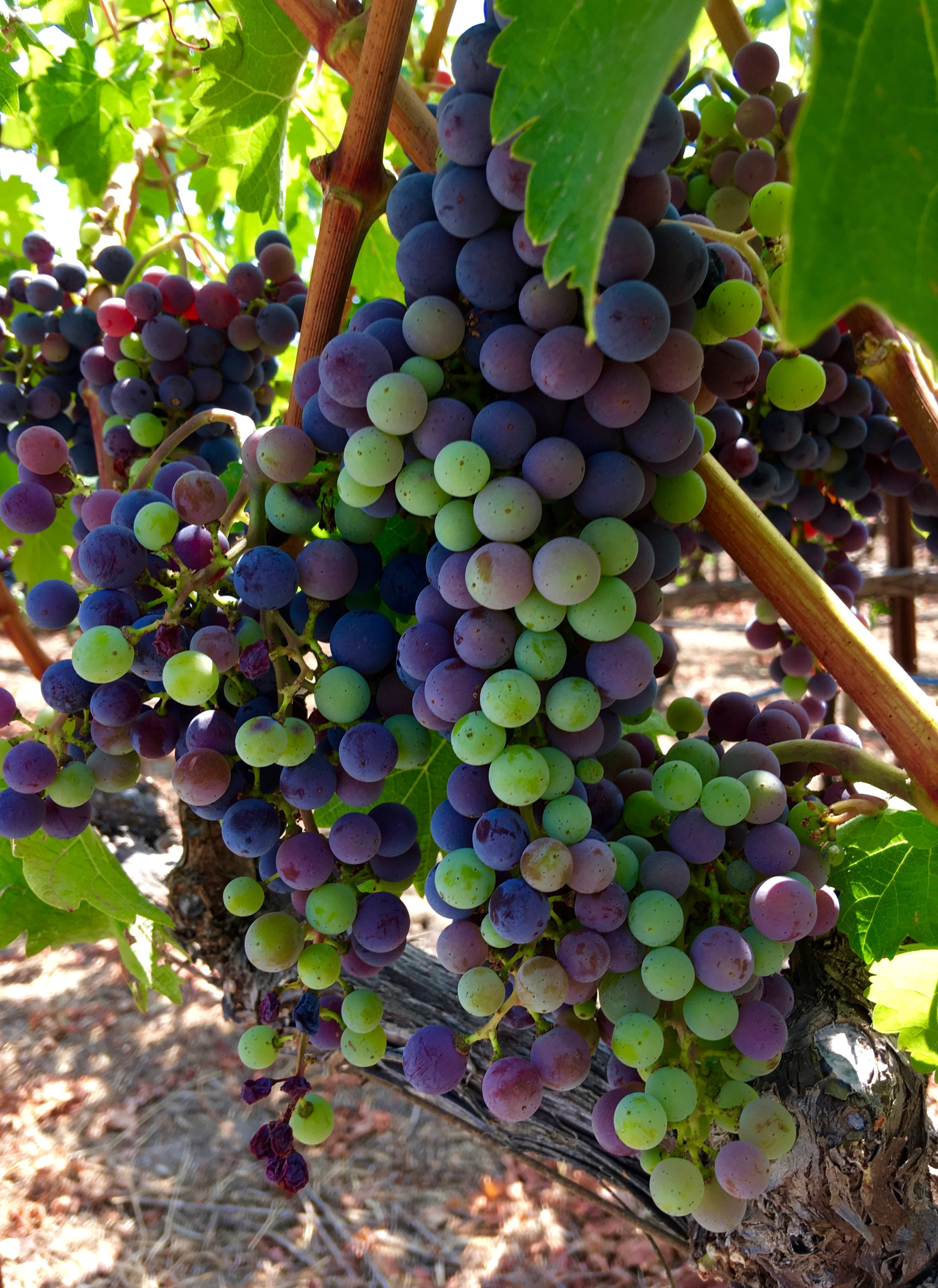 Veraison in action    Again, MAX is a Cabernet vine, so we're looking at a dramatic change in color versus what one would see with white varietals. This cluster is roughly mid-veraison with half the fruit still green. The cluster will fully turn in color signaling the end of this phase. Next, Blair will be managing the ripening process further by deciding on whether to trim the canopy to allow more sun on the fruit (speed ripening) and how many clusters to drop (concentrate the vine's energy to fewer clusters for more intense fruit)as we start to approach harvest time, likely next month. Stay tuned for it all!