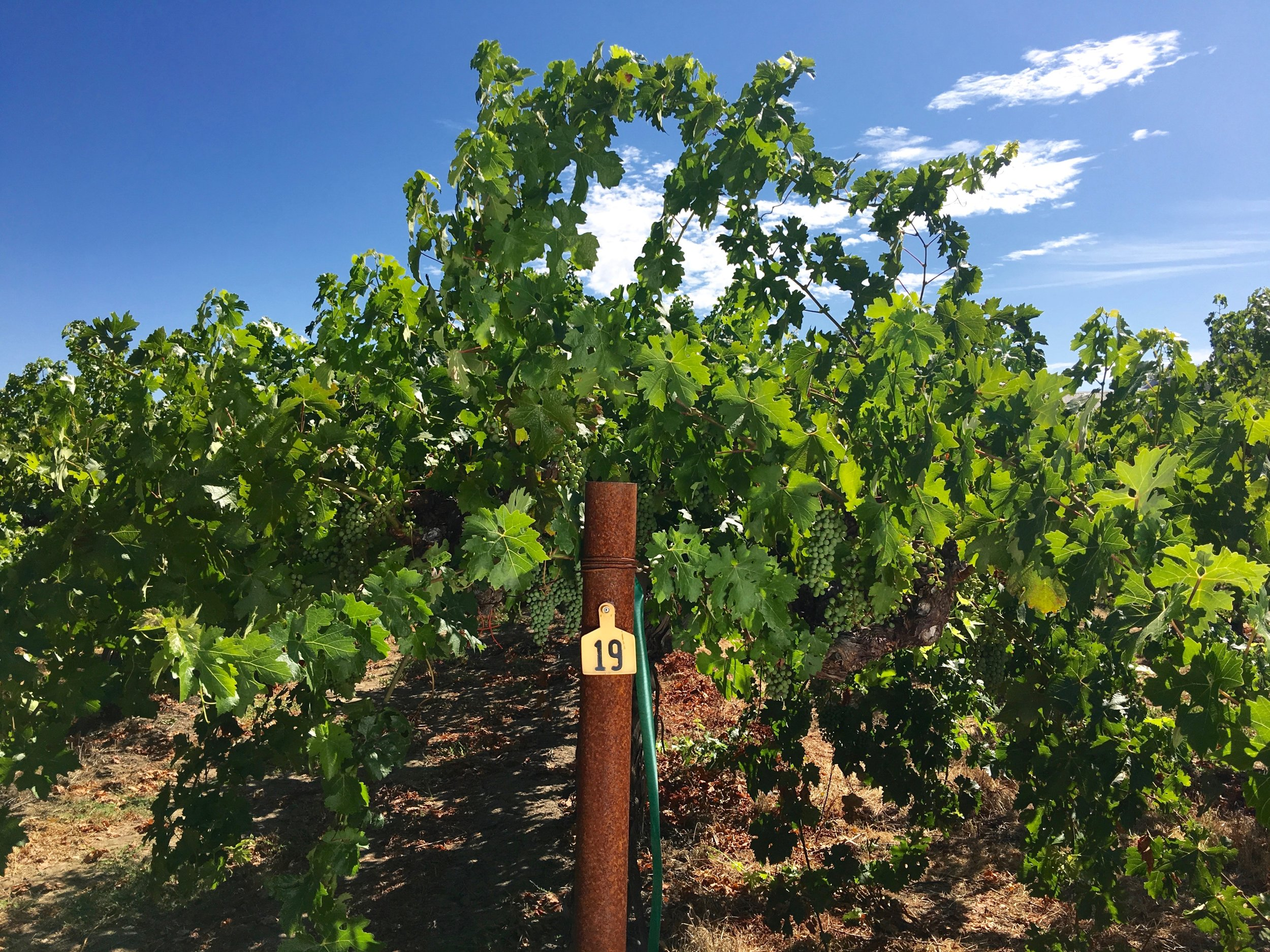 Hoopes Estate vines ( Photo: Mike Casey,The 29 Napa )