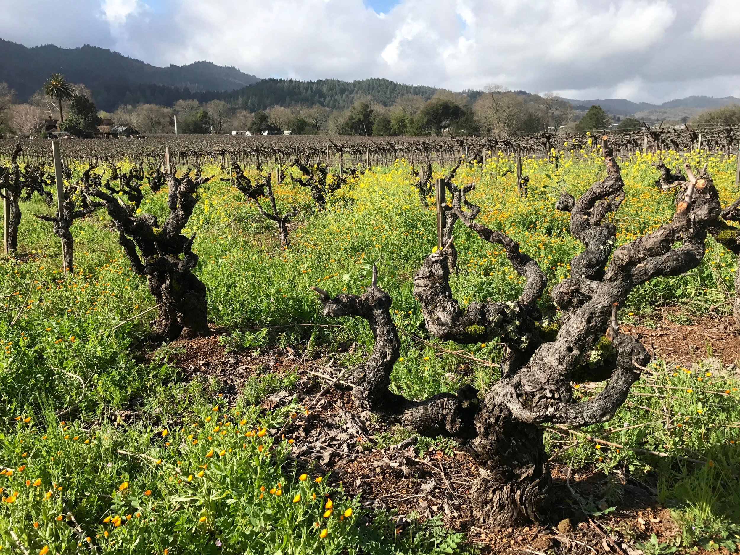 A winter view shows the vines in all their gnarly glory
