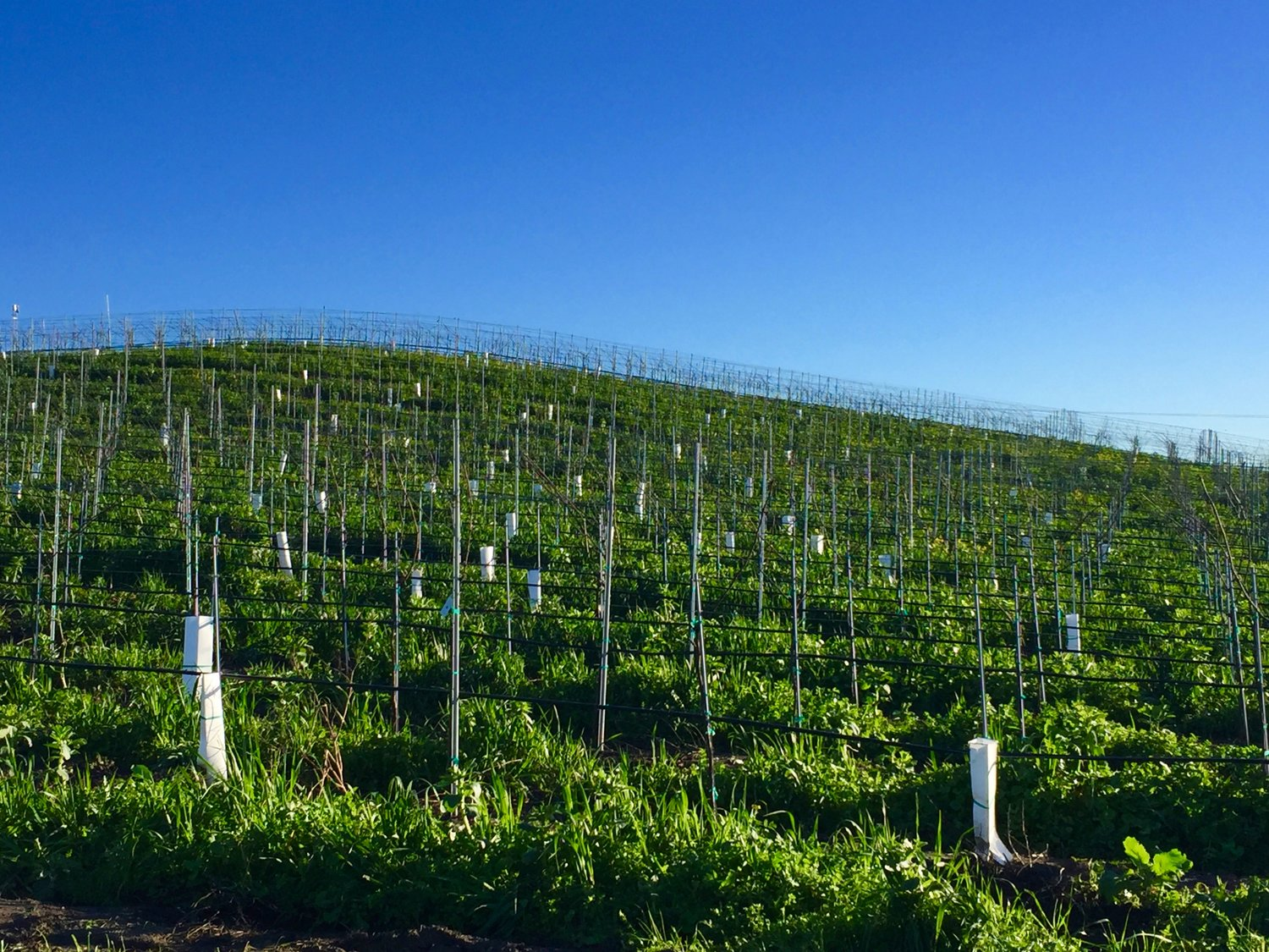Acres of freshly planted vines hardly visible to the eye ( Photo: Mike Casey,The 29 Napa )