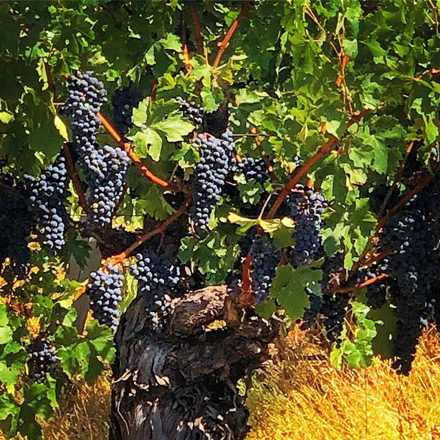 BUMPER CROP - The reds are almost ready to start rolling in! Due to a wet Spring and steady summer temps, yields should be plentiful across the Valley and quality high as well. • Going on a night pick of SB tonight, so stay tuned for more... • #the29napa #handpickednapa #napavalley #winecountrylife #winetasting #winemaking #winecountry #winecountryliving #winelover #napa #vino #winemaker #winecountrystyle #winelife #napalife #napa #harvest2019
