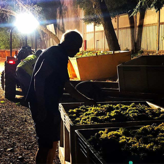 """NIGHT MOVES - Harvest 2019 is in full force across the Valley which means long nights and early mornings for vintners and their harvest teams. • Craig Handly, winemaker @gibbsvineyards , seen here sampling Sauv Blanc fruit fresh off their Centa Vineyard in St. Helena. While we had a wild Spring this year, the growing season has been stable, so Craig is excited to get this fruit crushed in the early morning and begin crafting it into a crisp and robust Sauv Blanc. • For those wondering, """"why pick at night?!"""" - it's for several reasons. The fruit is most stable and lush at night as temperatures drop and the clusters swell a bit. Picking during the day would result in less stable warm fruit with less desirable palate notes. So, long nights it is for vintners and the hard working harvest teams. 👍🙏 • Stay tuned as we're going to join Gibbs again in a few weeks when their Cabernet is ready for harvest. It's progressing towards 20 Brix now, so shaping up nicely. • #the29napa #handpickednapa #napavalley #winecountrylife #winetasting #winemaking #winecountry #winecountryliving #winelover #napa #vino #winemaker #winecountrystyle #winelife #napalife #winewednesday  #wineeducation #somm #harvest2019 #gibbsvineyards"""