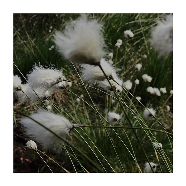 Welcoming June with Summer Fruits ~ beautiful bog cotton or Ceannbhán from County Meath. ⠀⠀⠀⠀⠀⠀⠀⠀⠀ #celebratetheseasons #naturesgifts #wheeloftheyear #summer #solsticeisnear #ireland