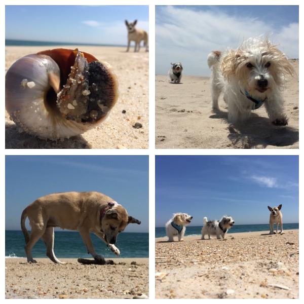 Southampton Beach Pups 05:14:16.jpg