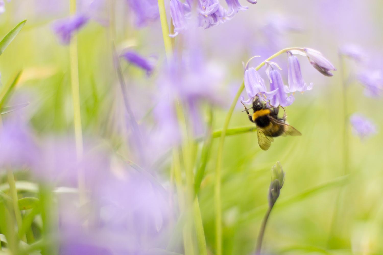 For a few weeks of Spring England enjoys carpets of bluebells, as do the bees. • Ellesmere Port, England •