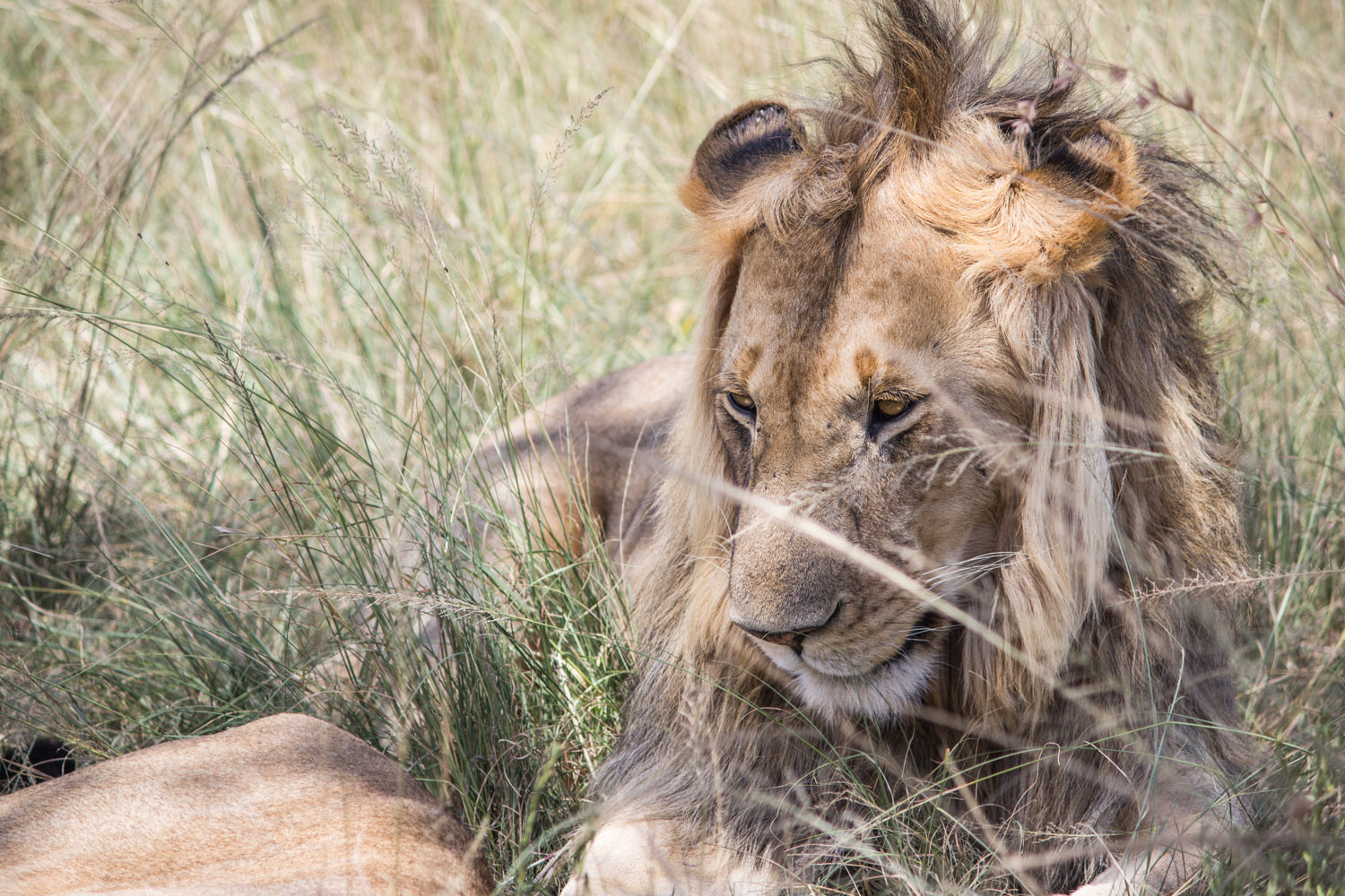 On safari we came across this pride of lions, dozing in the midday sun. Our van windows were open and I had this heart-pausing moment when I realised one of these lions could easily decide to spring into our vehicle should they choose. Thankfully, they didn't • Maasai Mara, Kenya •