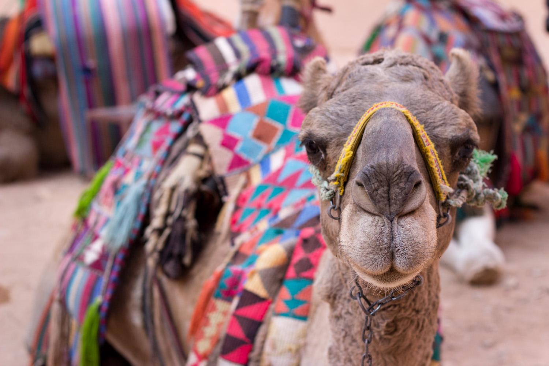 My first ever camel ride. • Petra, Jordan •