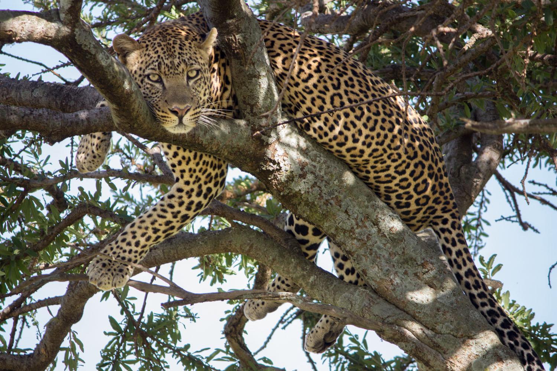 Eye-contact with a cheetah on safari in Kenya • Maasai Mara, Kenya •