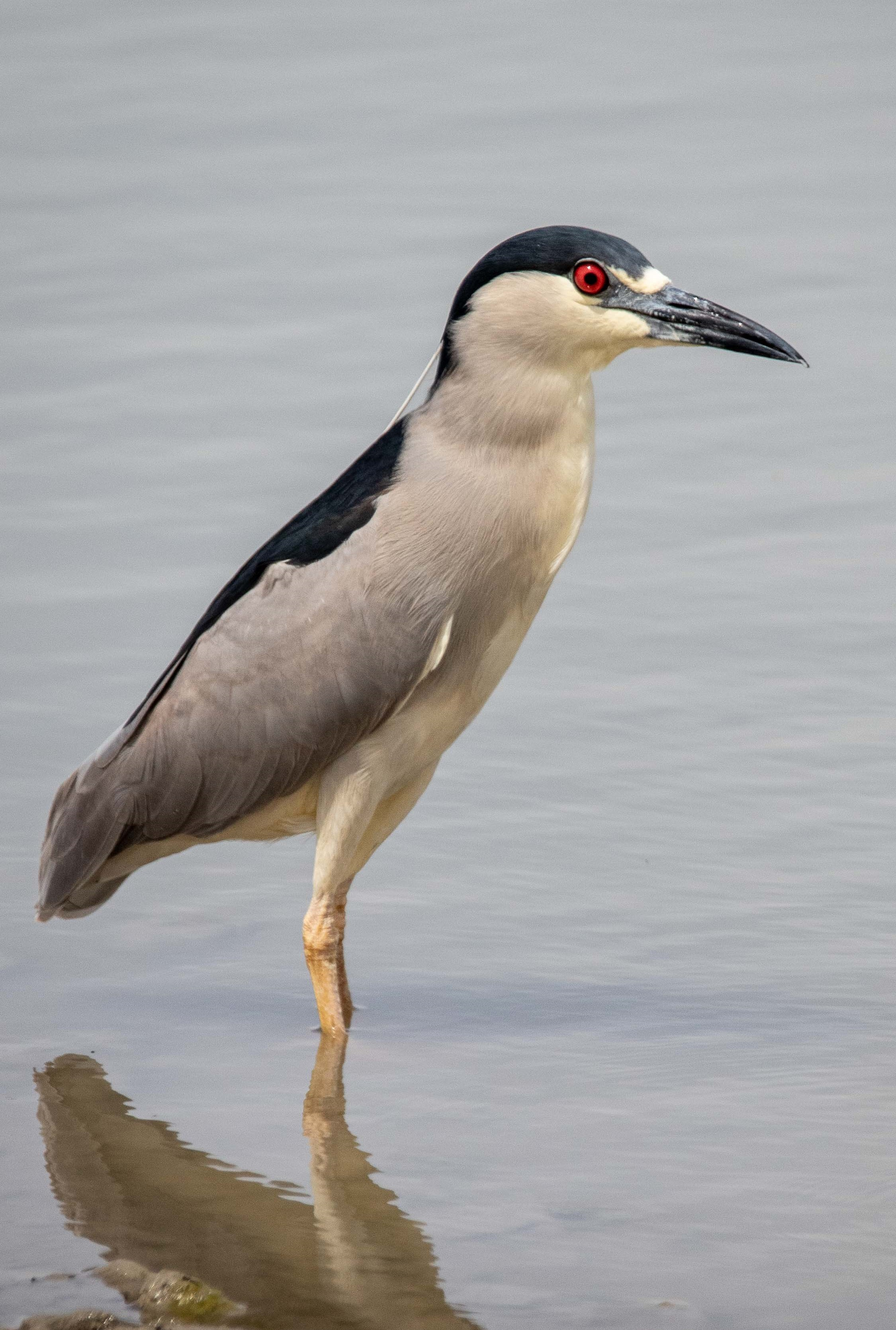 Figure 1: A black-crowned night heron standing in water at the Bear River Migratory Bird Refuge on the GSL. Photo credit: Gary Witt.