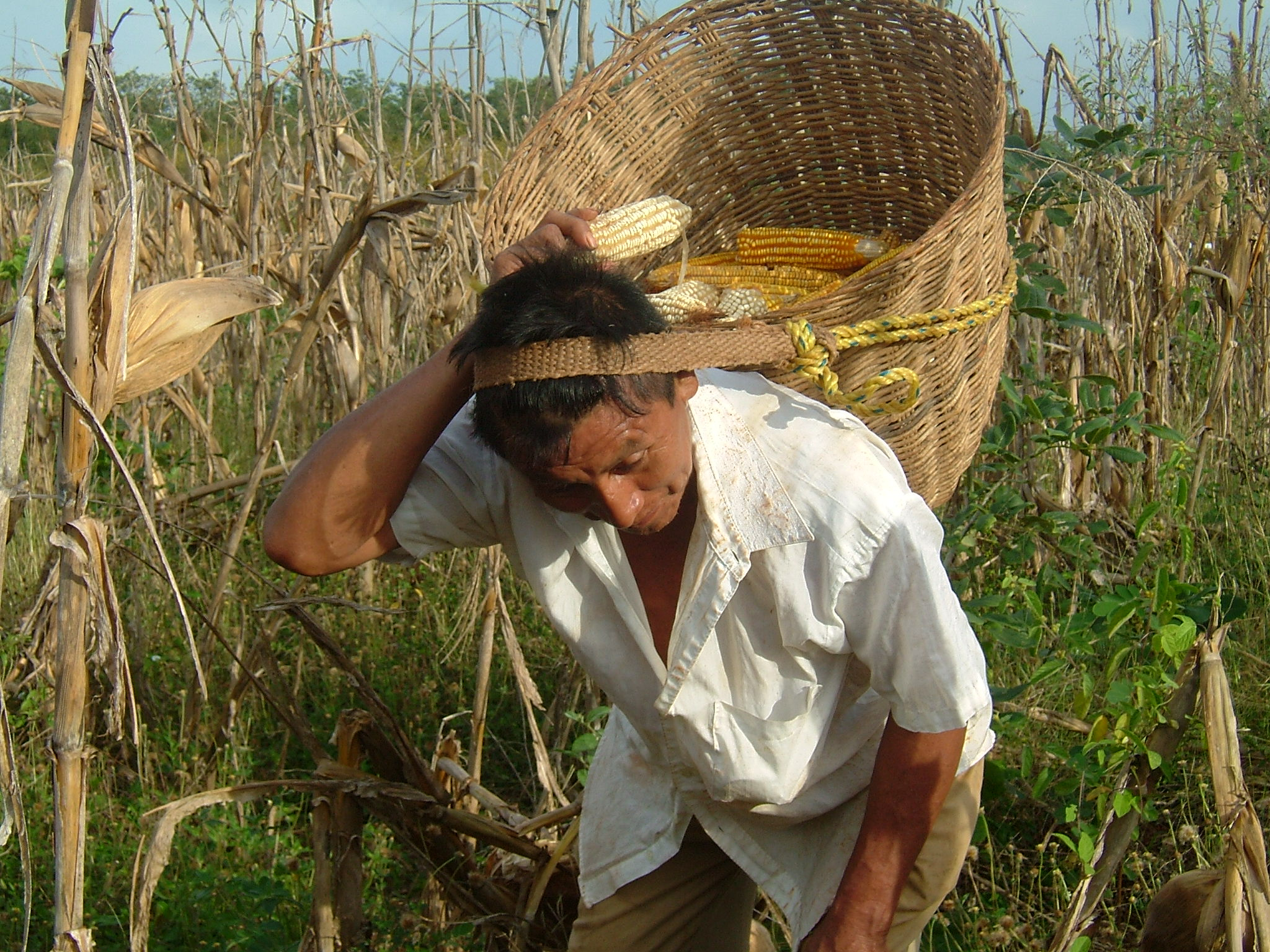 Harvesting native white and yellow corn in the Yucatan