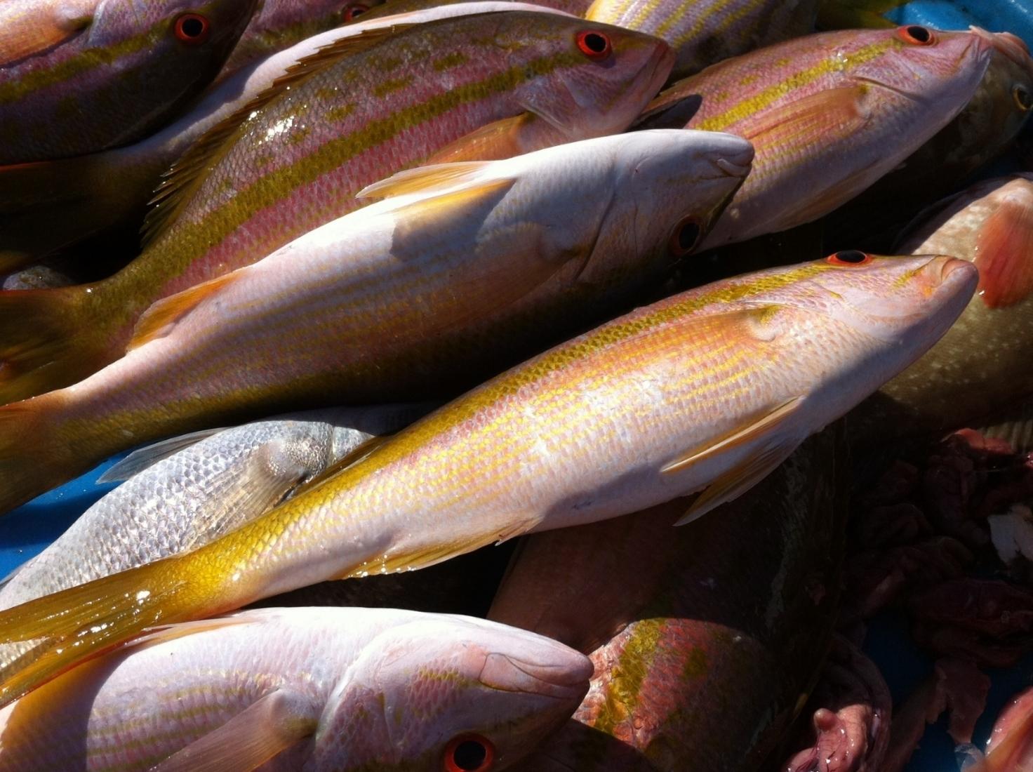 Fish from Rio Lagartos, Yucatan