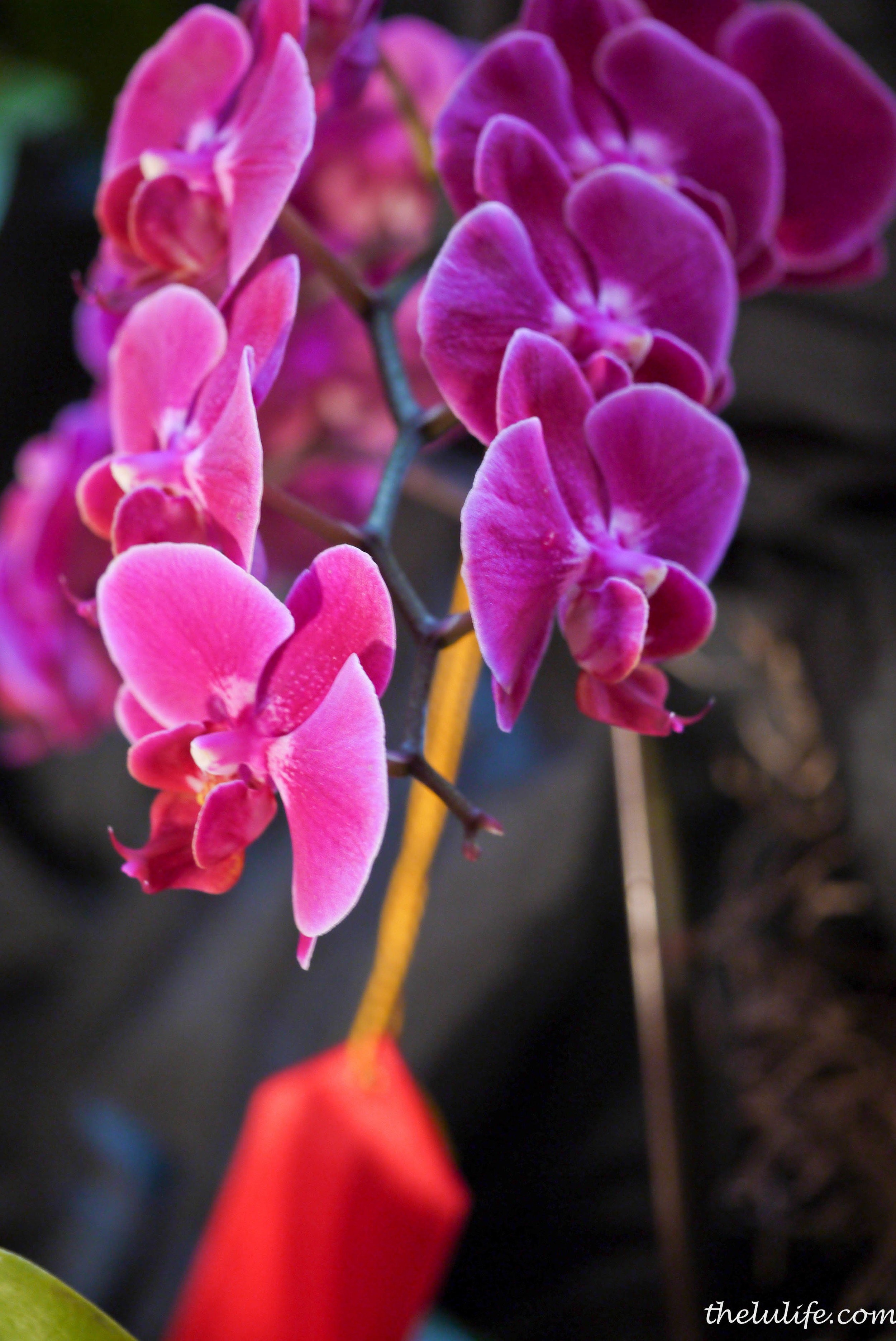 Gorgeous magenta orchids that got 2nd place!