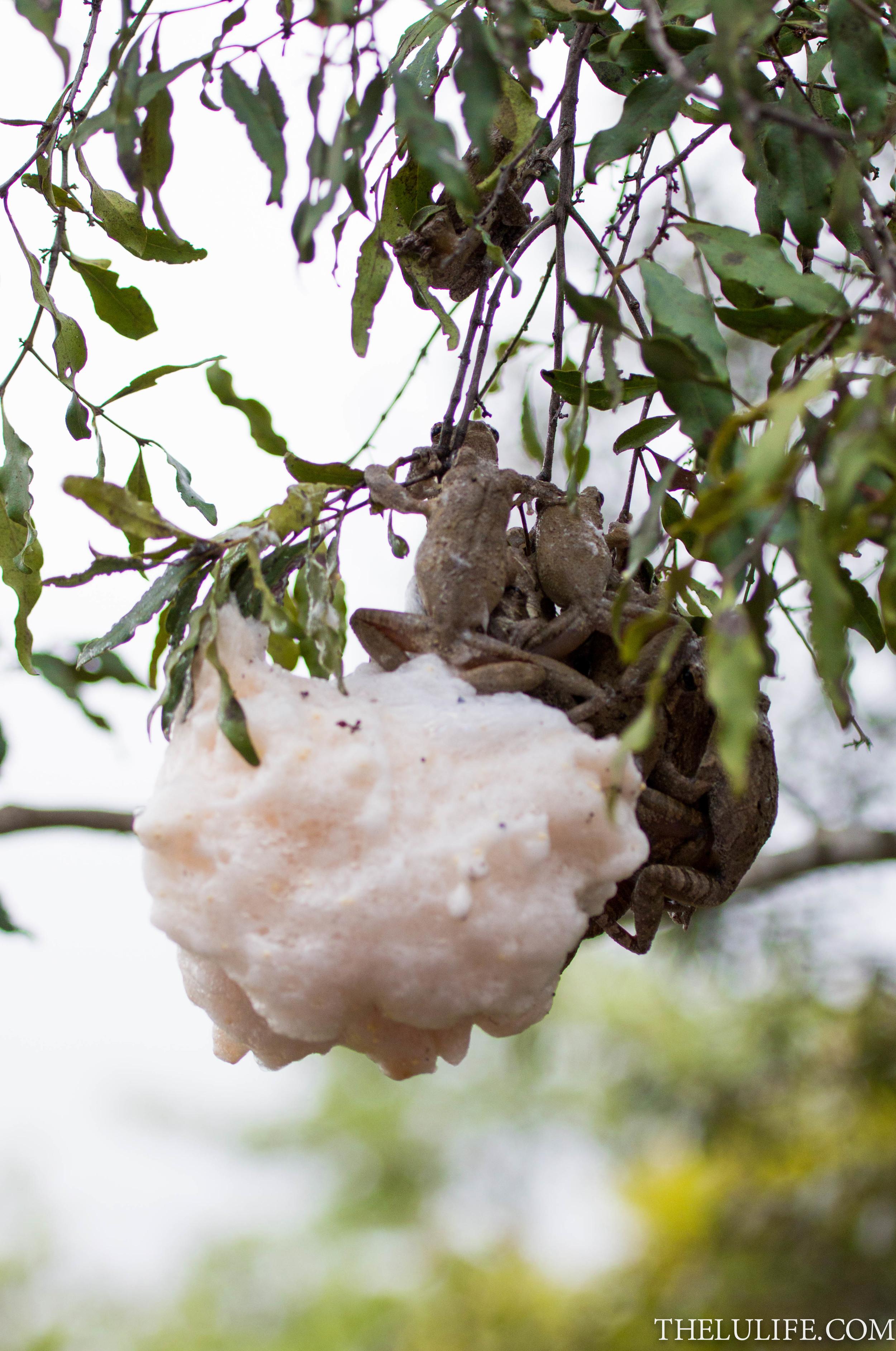 IMG_1428 Grey foam-nest tree frogs
