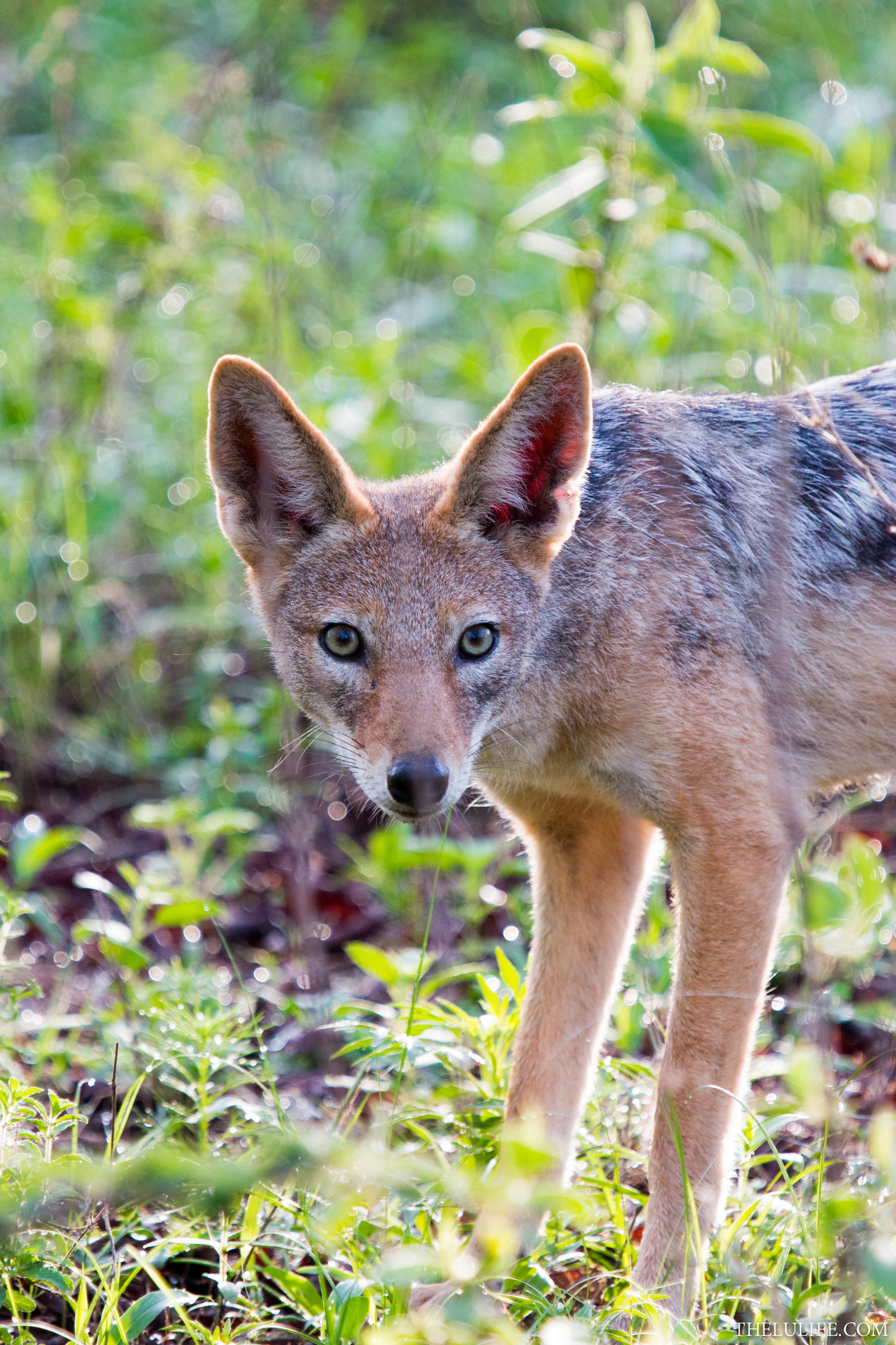 IMG_2761 Black-backed jackal