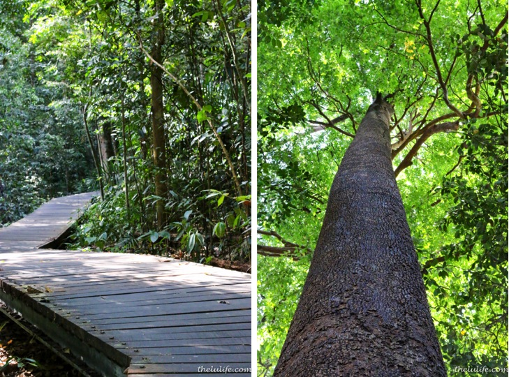 Left: Boardwalk Trail Right: Chewing gum tree, the largest tree species in the Singapore nature reserves