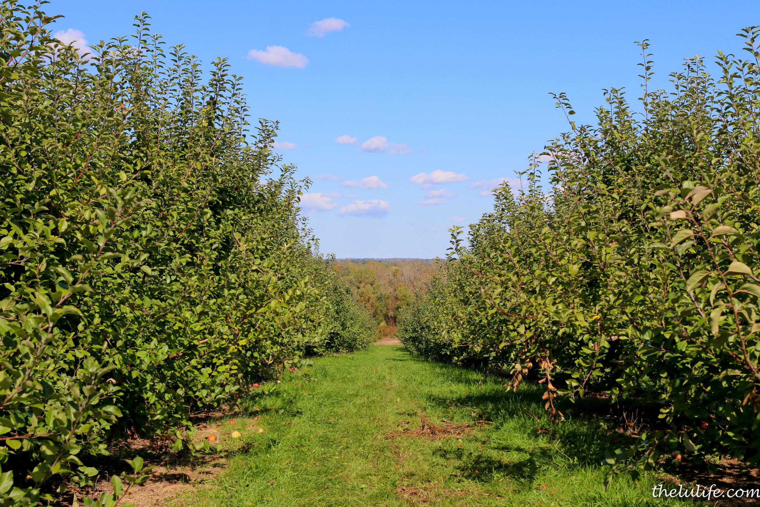 IMG_9507 Big Dan's apple orchard