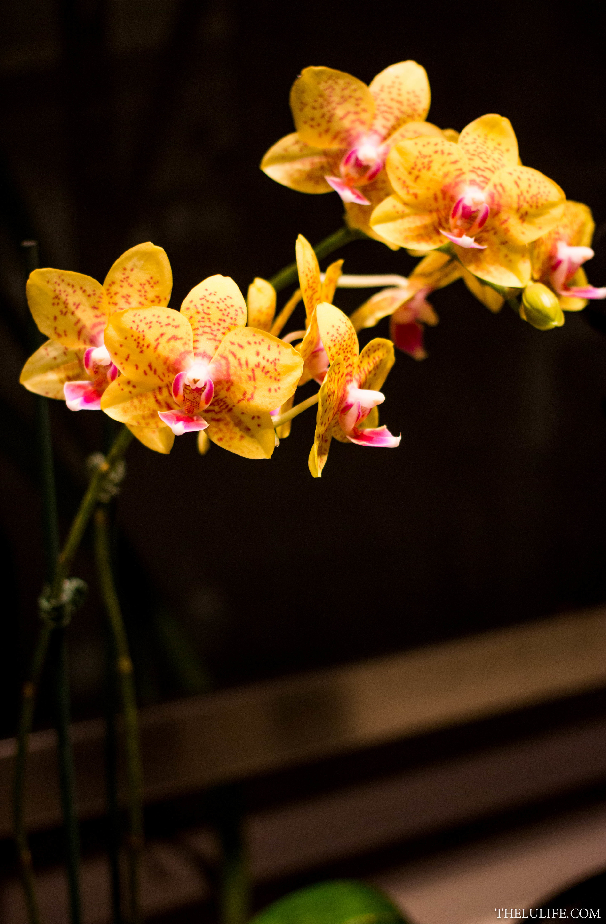 IMG_5168 Orchids