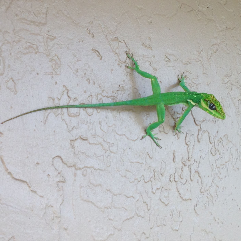 Hello, Iguana