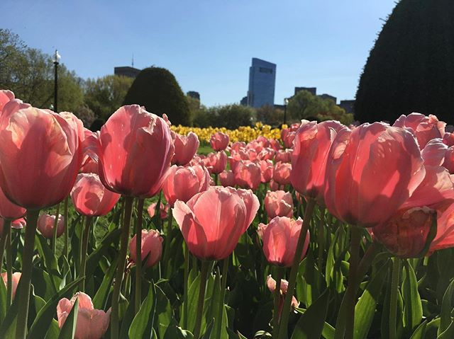 Spring has arrived in MA! #massachusetts #mvic #springinMA #bostonpublicgarden