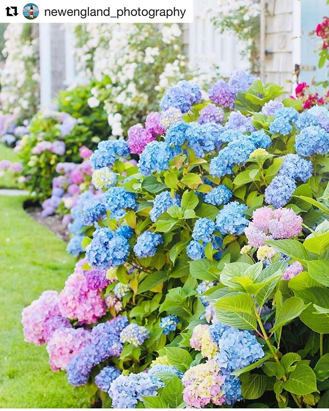 #Repost @newengland_photography with @get_repost ・・・ Nantucket hydrangeas come in every color 💙💗💜 photo @kristynewengland