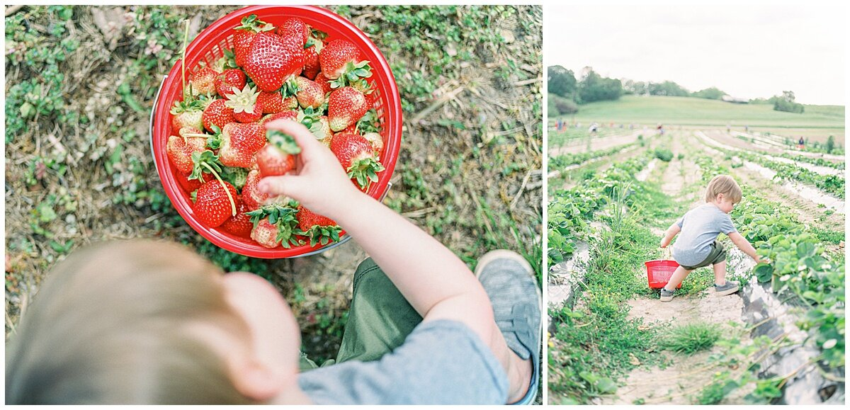 Little boy on a farm picking strawberries.
