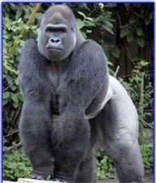 Gorilla+Shoulders.jpg